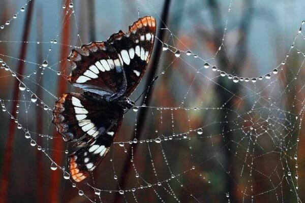 cuánto viven las mariposas