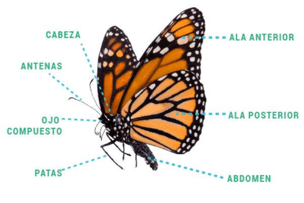 anatomia de la mariposas