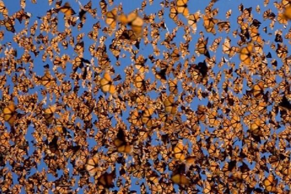 superpoblación de mariposas