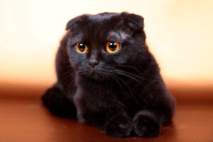 apariencia scottish fold