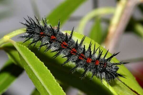 cómo se reproduce mariposa antíope