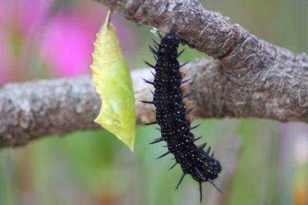ciclo reproductivo mariposa pavo real