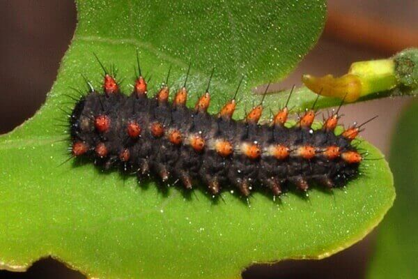 orugan mariposa arlequín