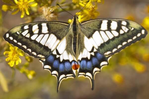 cómo se reproduce mariposa macaón