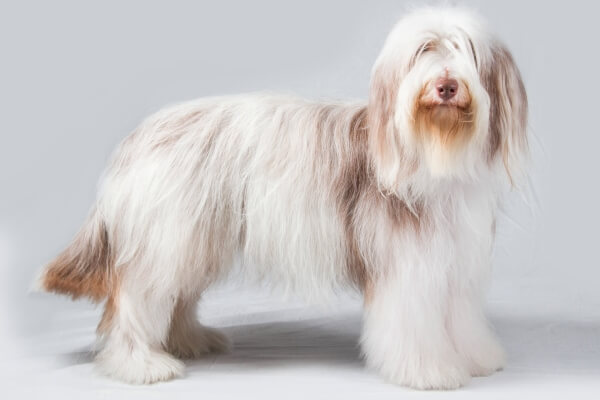 enfermedades bearded collie