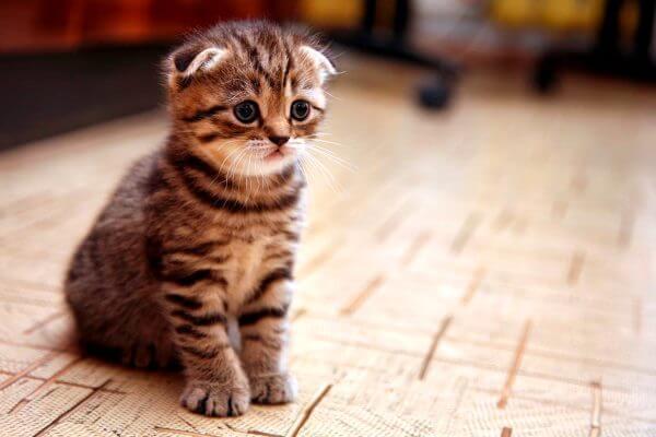 scottish fold gato mascota