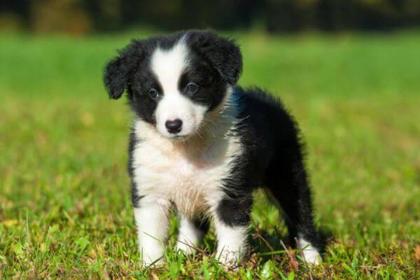 Origen de la raza Border Collie