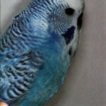 características Alas grises de la serie azul
