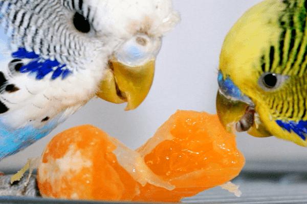 que dar de comer a los periquitos