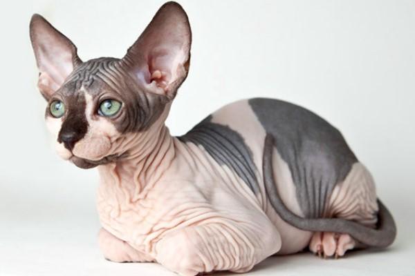 comportamiento gato egipcio