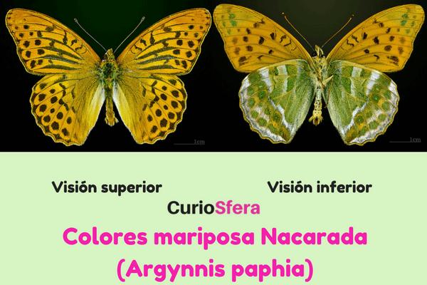 descripción argynnis paphia