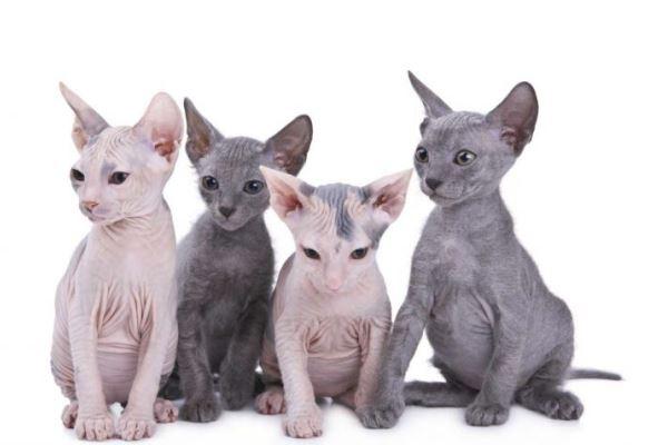 gato egipcio colores