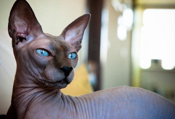 consejos cuidado gato egipcio