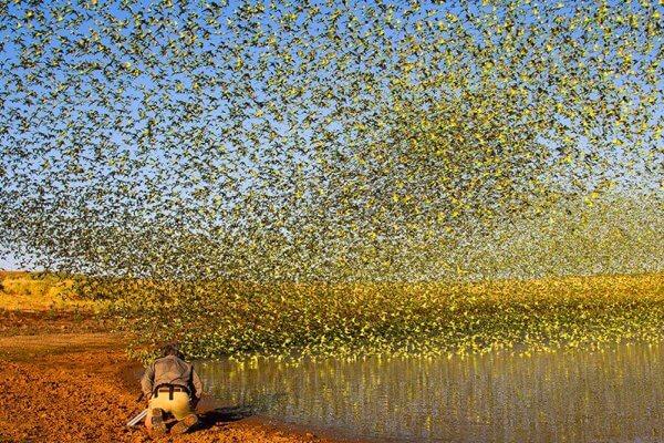 en qué país vive salvaje el periquito