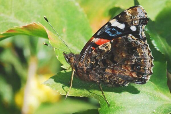 dónde vive mariposa vanessa atalanta