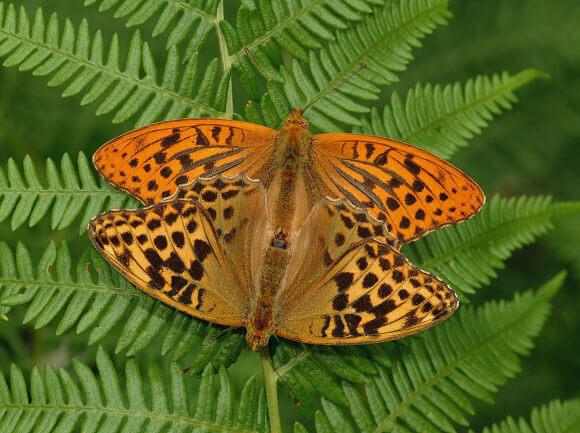 hábitat natural argynnis paphia