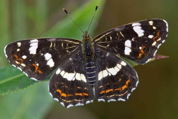 Mariposa Protea