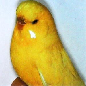 raza de periquito amarillo de ojos negros