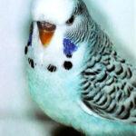 especie periquito bayo o flavo de la serie azul
