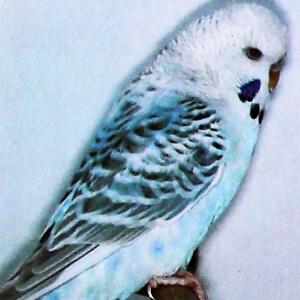 definición periquito bayo o flavo opalino