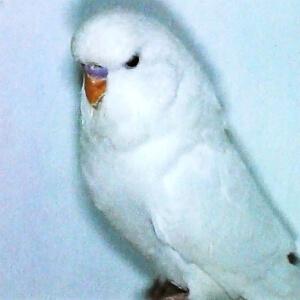 especie Periquito Blanco de ojos negros