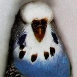características Periquito Canela azul oscuro