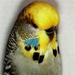 descripción Periquito Canela cara amarilla