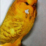 descripción Periquito Lacewing amarillo