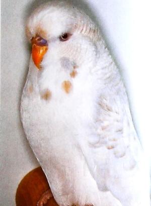 descripción Periquito Lacewing blanco