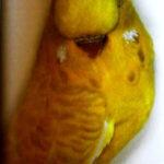 descripción Lacewing opalino amarillo