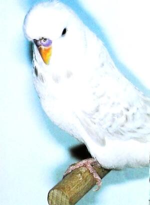 descripción Lacewing opalino blanco
