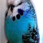 descripción Periquito Opalino azul claro