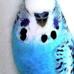 características Periquito Opalino azul oscuro