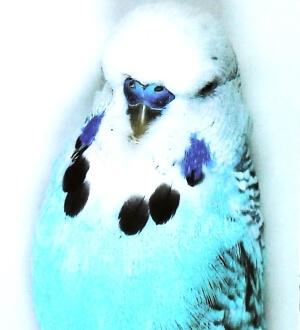 descripción Opalino canela azul claro