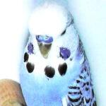 descripción Opalino canela azul oscuro