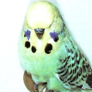 comportamiento periquito Opalino canela de cara amarilla