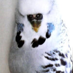 descripción Periquito Opalino canela gris