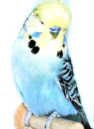descripción Opalino de cara amarilla