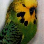 descripción Periquito Opalino verde claro