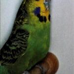 descripción Periquito Opalino verde oscuro