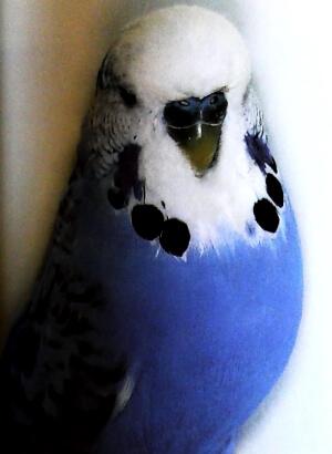 descripción Periquito Opalino violeta