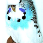 variedad periquito Pío australiano azul claro
