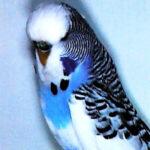 colores periquito Pío australiano azul oscuro