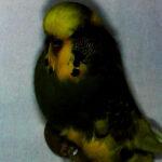 Pío australiano verde oscuro descripción