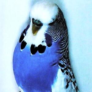 descripción Periquito pío australiano violeta
