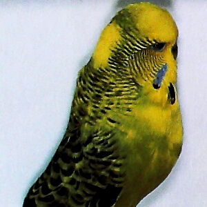 tipo de periquito Pío continental dominante de la serie verde