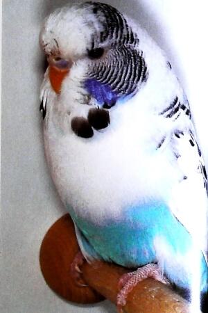 descripción Pío recesivo azul claro