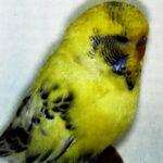 aspecto Pío recesivo de cara amarilla