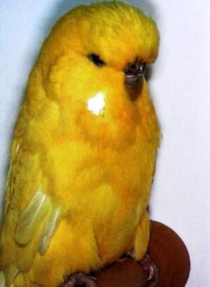 descripción periquitos perlados amarillos de factor doble