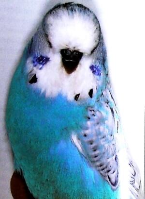 características periquito perlado azul claro